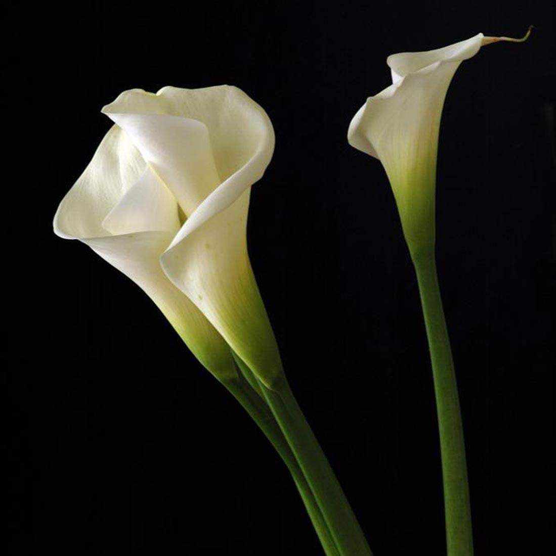 Celebration of life calla lily flowers hd wallpapers cool desktop pictures izmirmasajfo